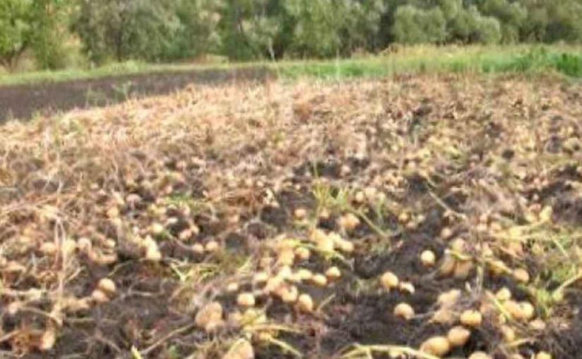 Если правильно сажать картошку, можно надеяться на богатый урожай